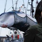 シーシェパードを裏から支援する中国・韓国!IWC国際捕鯨委員会を日本が脱退! 有本香 竹田恒泰